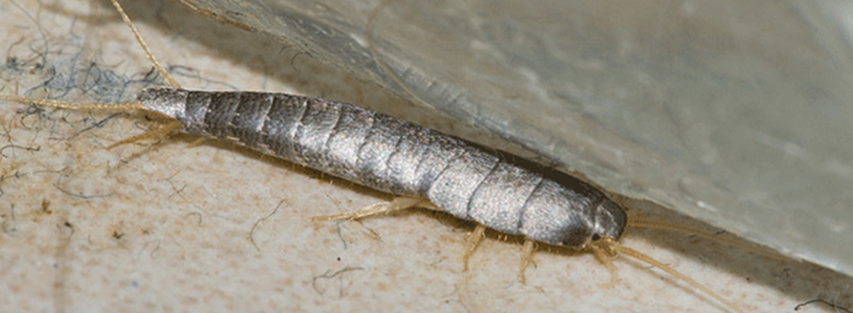 Silverfish in Sacramento