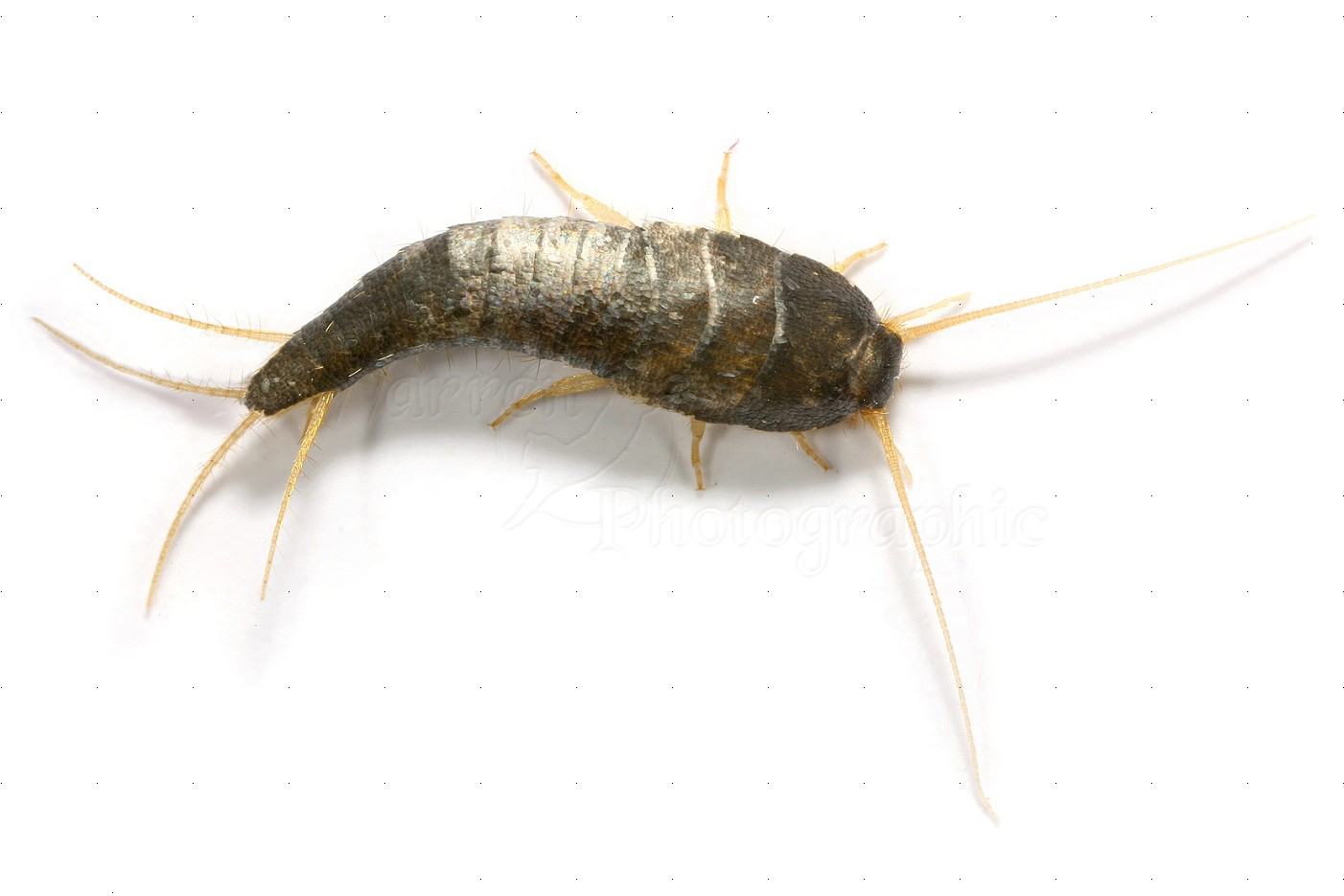 Silverfish Fast Action Pest Control Elk Grove Insect