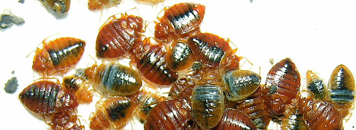 Bed bugs on sheets