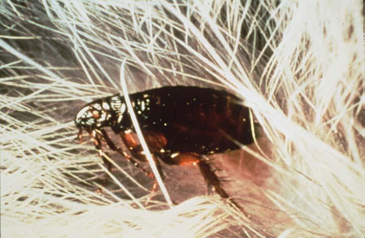 Flea in hair