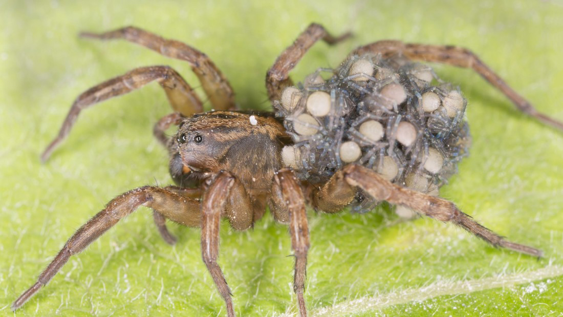 Spider with eggs on back