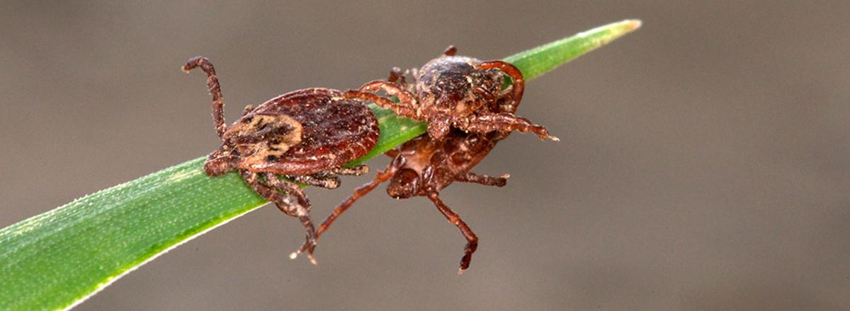 Ticks in Sacramento