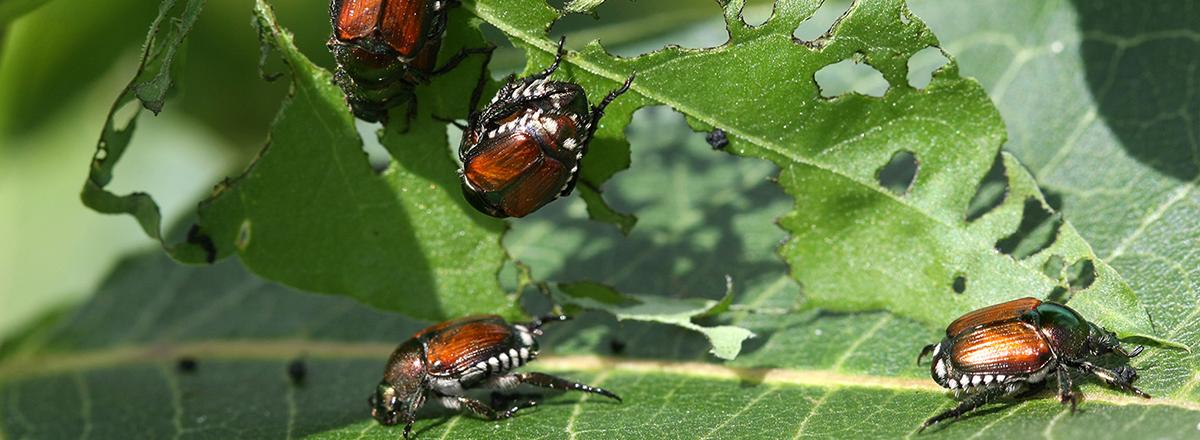 beetles on leaf