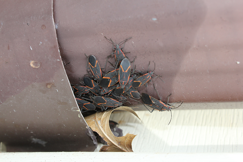 Boxelder bugs sneaking into home