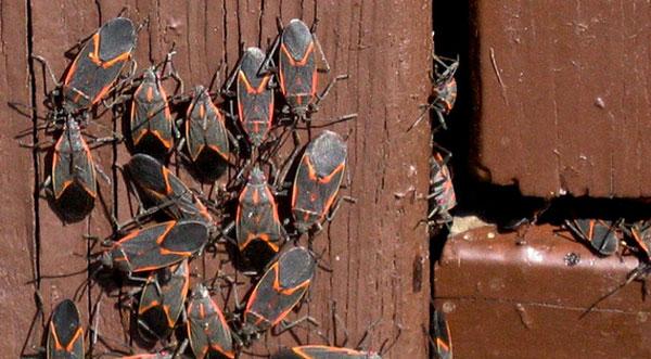Box Elder Bugs enter through crack