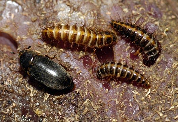 beetle with larva