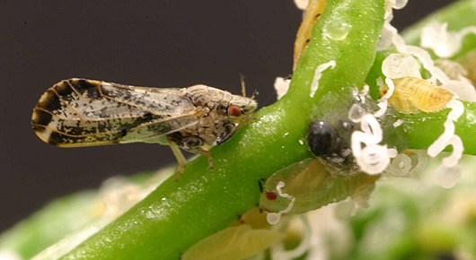 ALERT! Invasive Citrus Pest Spotted In Stockton