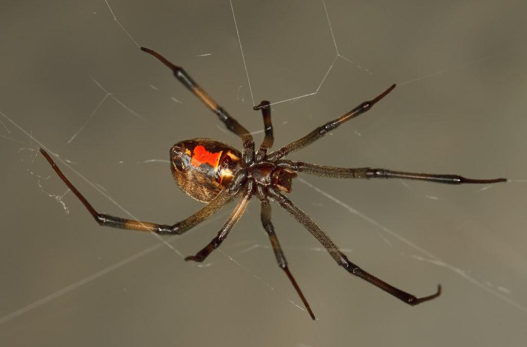 Sac Pest Invasion: Brown Widow Spider