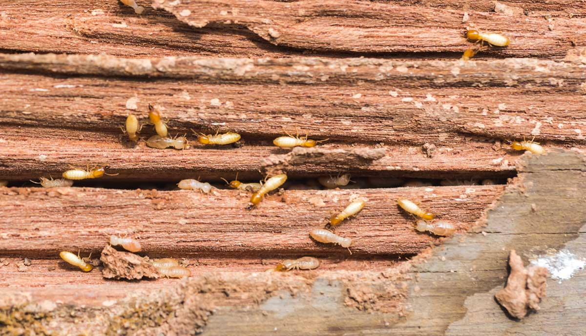 The Different Types of Termites Found in Homes